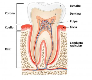 Anatomia del diente